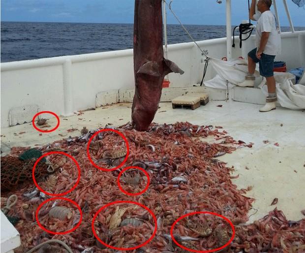 Pesquisadores ficaram intrigados devido à quantidade de 'baratas marinhas gigantes' capturadas junto a tubarão-duende nos EUA (Foto: Divulgação/Carl Moore/NOAA)