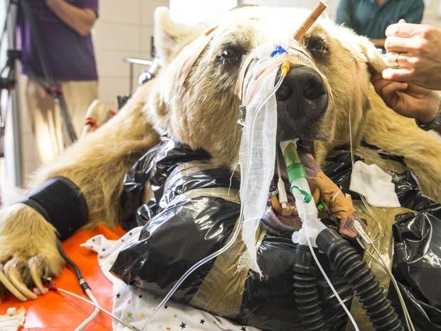 O urso Magno foi entubado e amarrado para poder ser operado (Foto: Jack Guez/AFP)