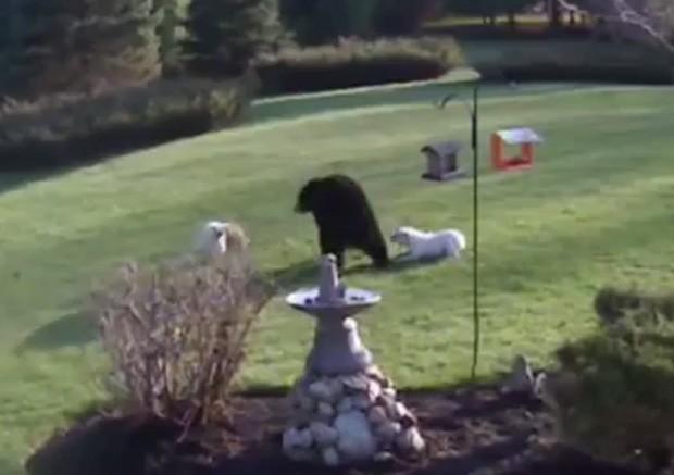 Dupla de buldogues 'espantou' urso-negro que se aproximou de fazenda em Nova Hampshire, nos EUA (Foto: Reprodução/YouTube/Cue Foils)