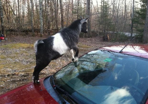 Polícia foi chamada após cabras 'atacarem' carro estacionado em Richmond, no estado de Maine (EUA) (Foto: Divulgação/Richmond Police Department)