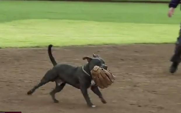 Pitbull invadiu campo e 'roubou' as luvas de duas atletas durante jogo de softbol nos EUA (Foto: Reprodução/YouTube/WOUAthletics)