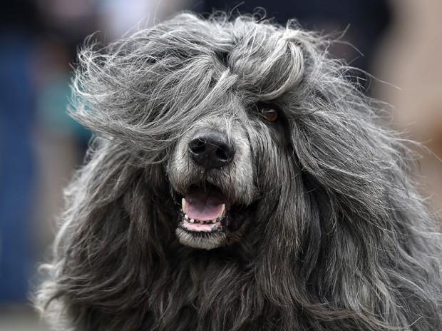 Cão d'Água Português é fotografado em pose 'glamourosa' com seus cabelos ao vento em evento canino na Alemanha (Foto: Martin Meissner/AP)