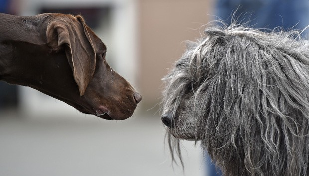 Cachorro de pelo curto pareceu dar 'encarada inveosa' em cão peludo durante evento (Foto: Martin Meissner/AP)