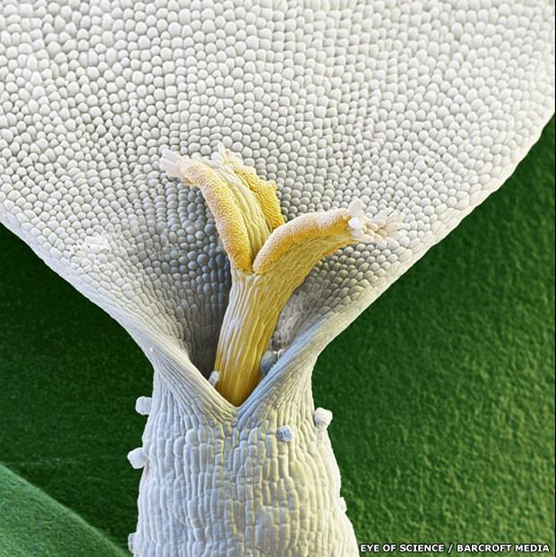 Formações bizarras e inesperadas - como nessa for de camomila - foram capturadas pela premiada dupla 'Eye of Science' (Olho da ciência), formada pelo fotógrafo Oliver Meckes e pela bióloga Nicole Ottawa (Foto: Eye of Science/Barcroft Media/BBC)