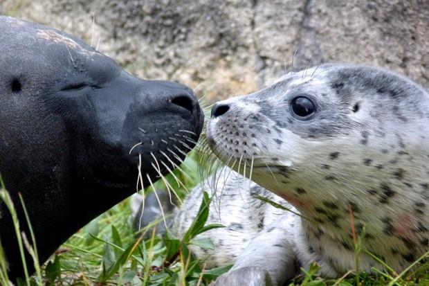 'Conchita' (à esq.) dá um 'selinho' em sua mãe Celia poucas horas após nascer em parque de animais marinhos em Bruges, na Bélgica (Foto: Boudewijn Seapark/AFP)