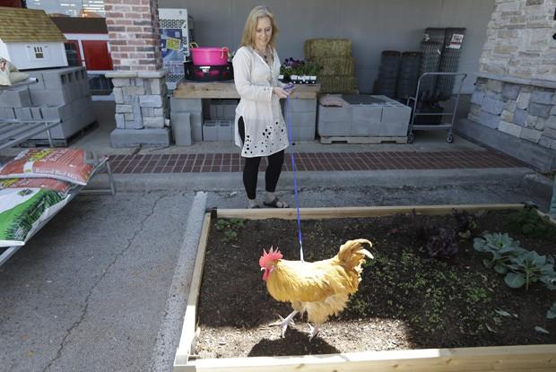 Jennifer Stuart, gerente da loja, passeia com o galo 'Príncipe George' em uma coleira. A americana afirmou que o movimento da loja aumentou desde que a ave se tornou o mascote do estabelecimento, ao ser devolvida por uma menina que pensava que o animal era uma galinha (Foto: LM Otero/AP)