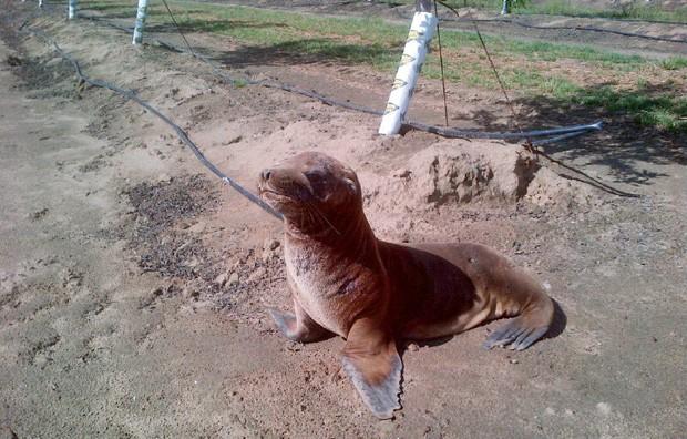 Leão-marinho 'Hoppie' foi encontrado por trabalhadores a mais de 1 km de rio em Modesto, na Califórnia (Foto: San Joaquin River National Wildlife Refuge, Eric Hopson/AP)