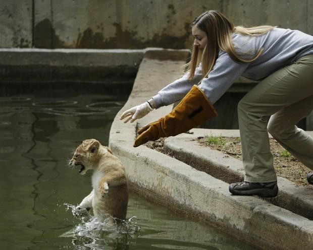Funcionária coloca filhote de leão em 'piscina' de zoológico durante teste de natação nos EUA (Foto: Gary Cameron/Reuters)