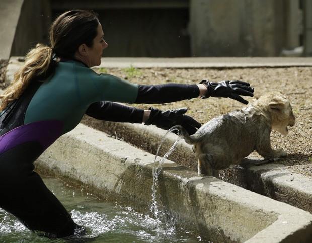 Leão tenta escapar após ser colocado em piscina durante teste de nado nos EUA (Foto: Gary Cameron/Reuters)
