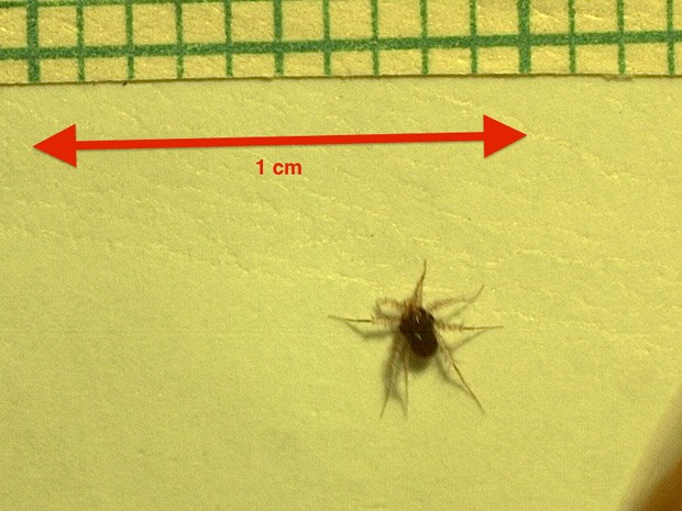 Ácaro Paratarsotomus macropalpis consegue percorrer o equivalente a 322 vezes o comprimento do próprio corpo em um segundo (Foto: Samuel Rubin (W.M. Keck Sc ience Center, Pitzer College) / Dr. J.C. Wright Laboratory (Department of Biology, Pomona College), The Claremont University Consortium, Claremont, CA)