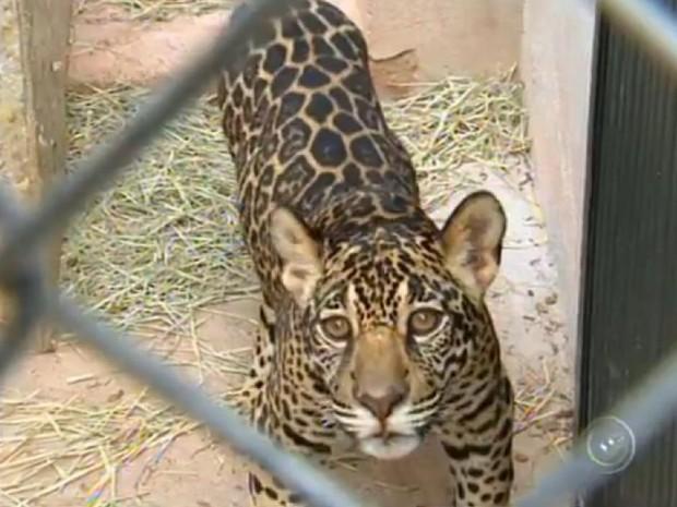 Onças eram criadas como animais domésticos no Amapá (Foto: Reprodução/TV TEM)
