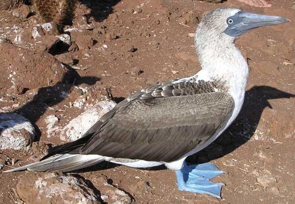Exemplar da ave patola-de-pés-azuis, que habita ilhas do Pacífico, principalmente na região da América tropical (Foto: Marc Figueras/Wikimedia Commons)