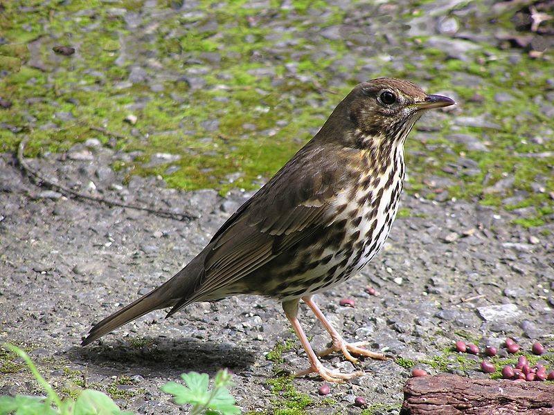 Exemplar de tordo, ave que participou do experimento (Foto: Tony Wills/Wikimedia Commons)