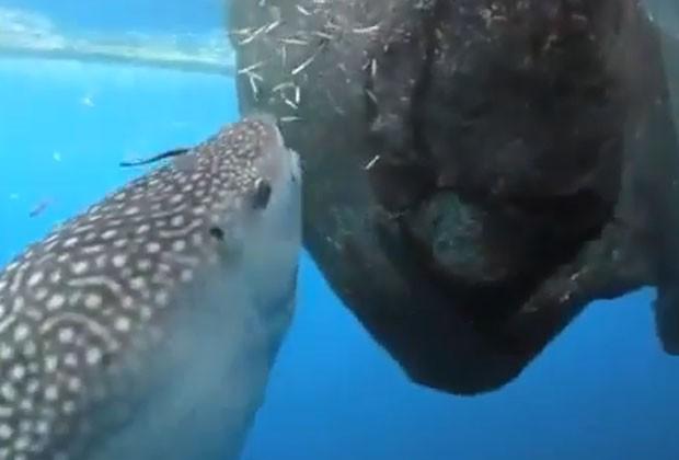 Tubarão-baleia 'guloso' aproveitou peixes em rede para fazer banquete preguiçoso na Indonésia (Foto: Reprodução/YouTube/weirdn)