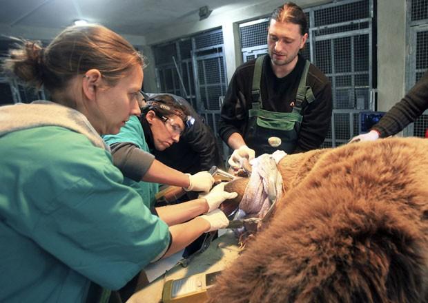 Exemplar de urso-pardo passa por exame dentário em santuário para animais de Pristina, em Kosovo (Foto: Hazir Reka/Reuters)