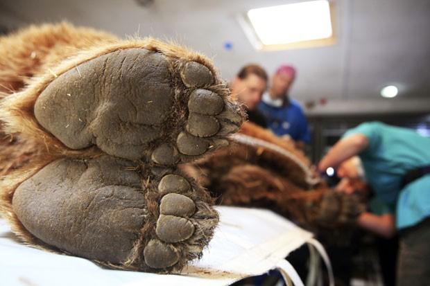 Os técnicos examinaram o exemplar de urso-pardo no começo de maio (Foto: Hazir Reka/Reuters)
