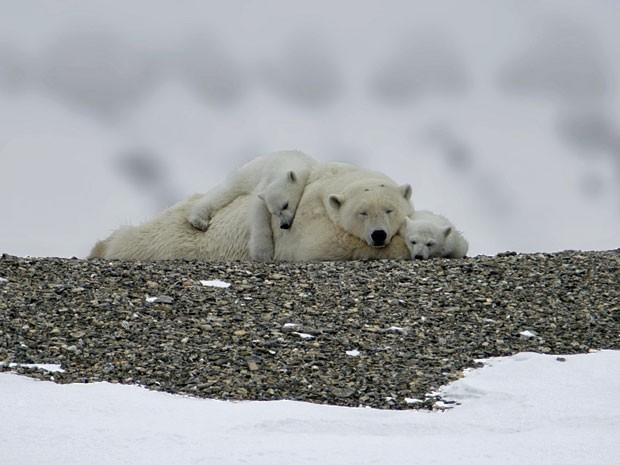 Ursa mãe com seus filhotes, após brigar com um macho (Foto: Francisco Mattos)